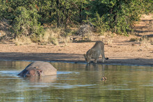 Sleeping Hippo, Red-billed Oxp...