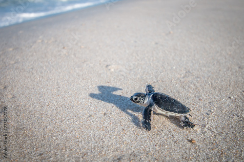 Fotografie, Obraz  Baby Green sea turtle on the beach.
