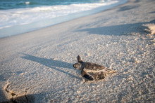Baby Green Sea Turtle On The Beach.