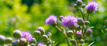 Flowers Of Burdock On A Green ...