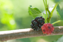 Mulberry Berry Ripens On A Branch
