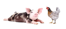 Funny Little Pig And Chicken Together Isolated On White Background