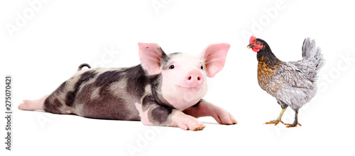 Stampa su Tela Funny little pig and chicken together isolated on white background