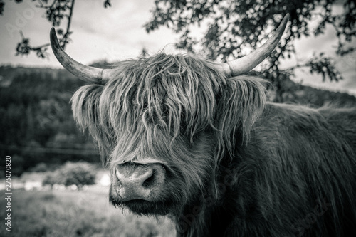 Fototapety, obrazy: highland cow in kinzig valley in black forest, germany