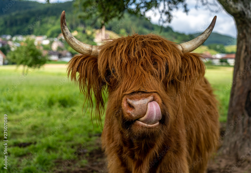 Fototapeta highland cow in kinzig valley in black forest, germany