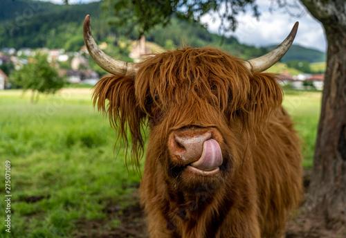 Spoed Fotobehang Schotse Hooglander highland cow in kinzig valley in black forest, germany