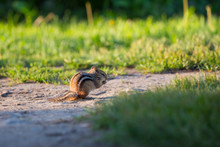 Adorable Backlit Eastern Chipmunk Crouching In Profile Eating At Dawn, Léon-Provancher Marsh, Neuville, Quebec, Canada