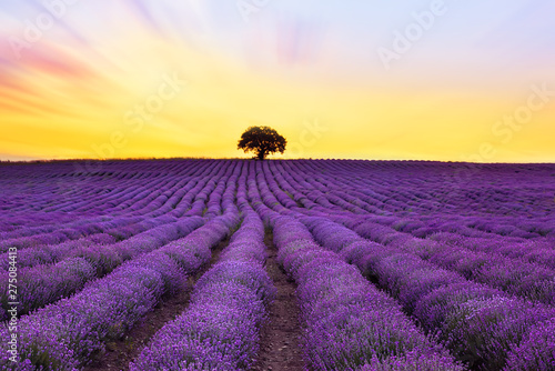 Printed kitchen splashbacks Eggplant Lavender purple field with beautiful sunset and lines
