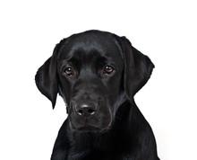 Dog Breed Black Labrador Puppy Portrait On White Background