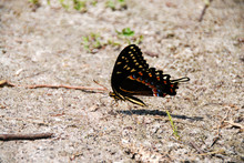 Black Swallowtail Grounded