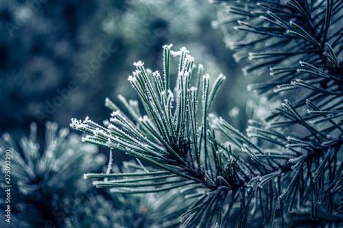 Frostbedeckter Nadelbaum im Winter Obraz na płótnie