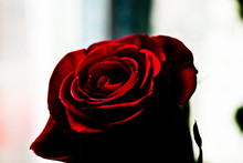 Rose Red On A Light Background...