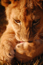 Lion Cub Chewing Intently