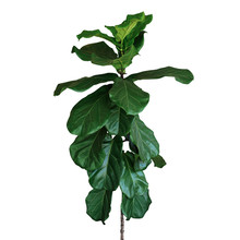 Green Leaves Of Fiddle-leaf Fig Tree (Ficus Lyrata) The Popular Ornamental Tree Tropical Houseplant Isolated On White Background, Clipping Path Included.