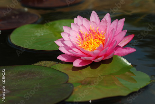 Wall Murals Water lilies Bright pink lotus pictures Natural beauty