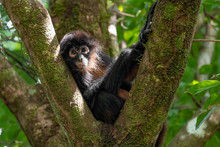 Monkey In Tree In Costa Rica