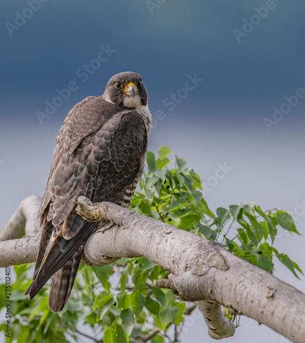 Photo  Peregine Falcon on the Tree