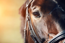 Face Of A Beautiful Bay Horse With Brown Eyes Closeup. In The Face Wearing A Black Leather Bridle, And The Horse Is Illuminated By Bright Sunlight.