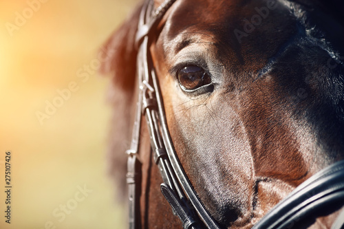Fototapeta Face of a beautiful Bay horse with brown eyes closeup. In the face wearing a black leather bridle, and the horse is illuminated by bright sunlight. obraz
