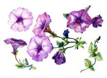 Petunia Flowers Painted In Watercolor.