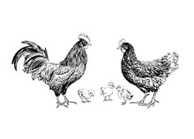 Rooster Chicken And Chickens Hand-drawn Black Ink.