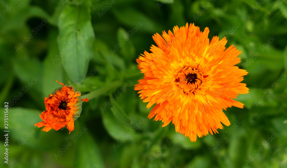 Fototapety, obrazy: Orange calendula flowers growing in herbal garden.