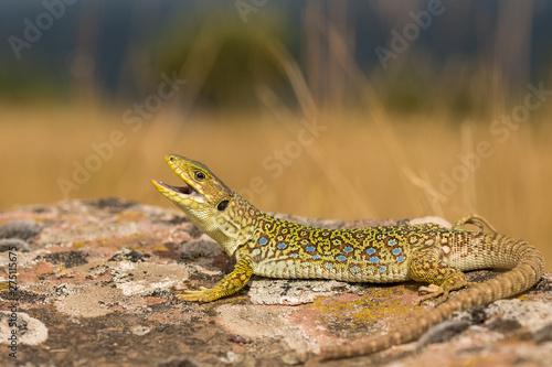 Photo  ocellated lizard, Timon lepidus, spain.