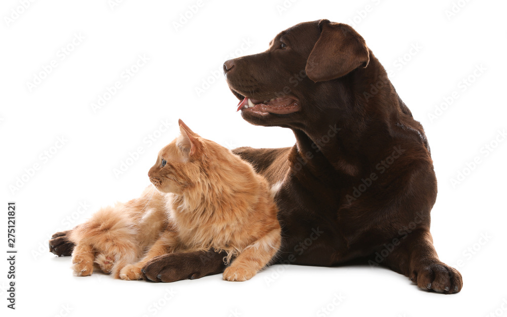 Fototapety, obrazy: Cat and dog together isolated on white. Fluffy friends