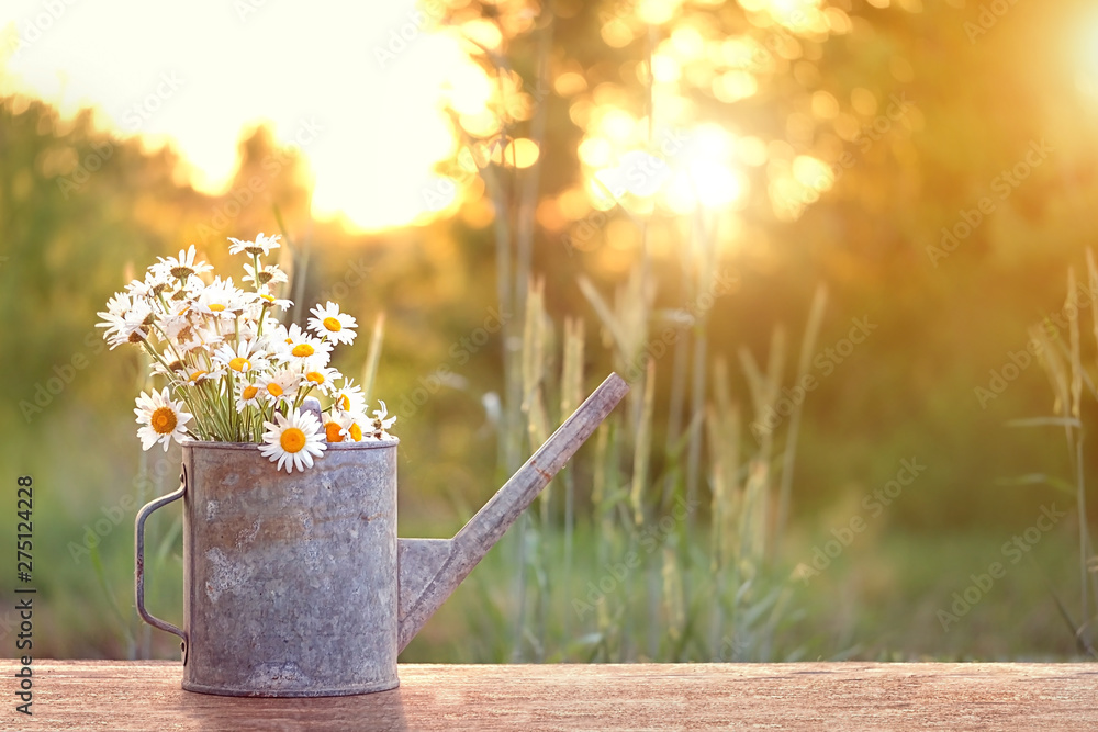 Fototapety, obrazy: bouquet of daisies in watering can, summer sunny garden. Summer time season concept. beautiful still life of watering can and chamomile flowers in sunlight. inspiration image. copy space