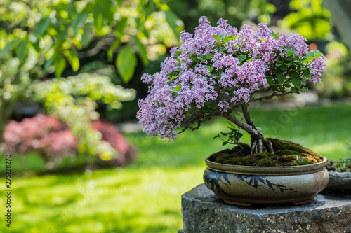 Miniature japanese bonsai tree isolated in a small pot