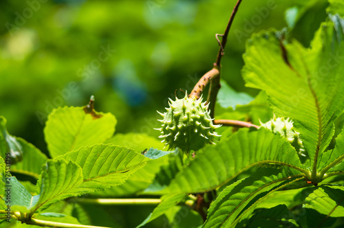 Photo Horse-chestnuts on conker tree branch - Aesculus hippocastanum fruits