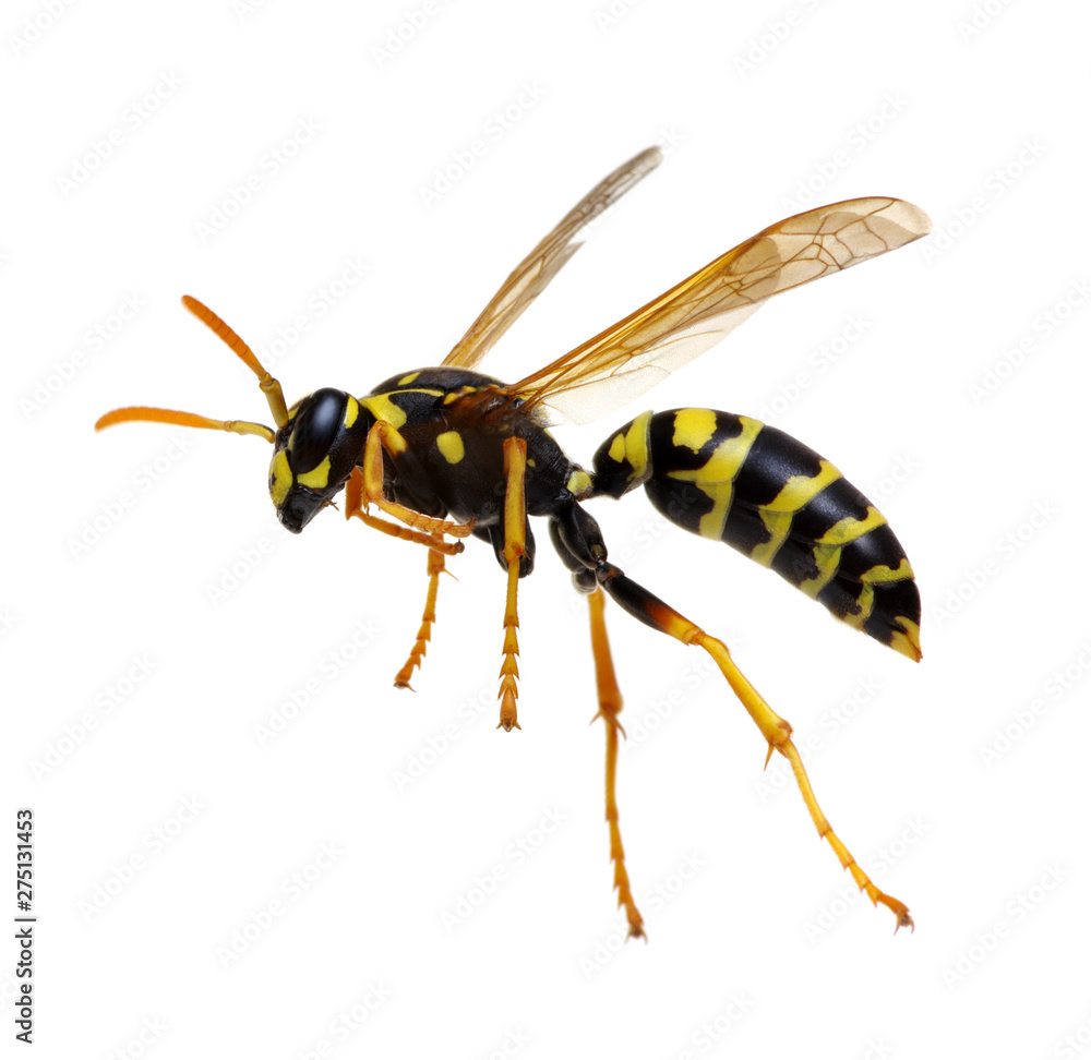 Fototapety, obrazy: wasp isolated on white