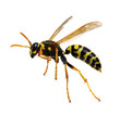wasp isolated on white