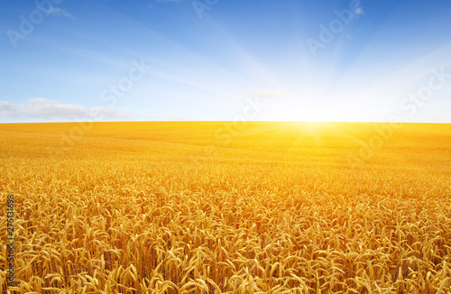Poster Fleur Wheat field and sun