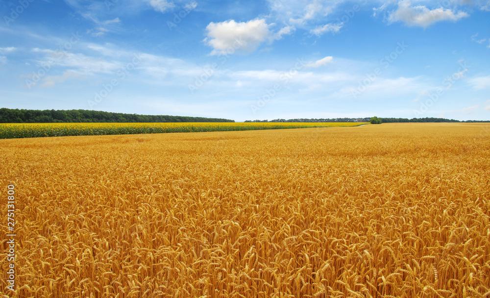 Fototapety, obrazy: Golden wheat field with blue sky