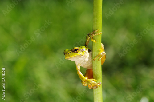 Frog on green background Wallpaper Mural