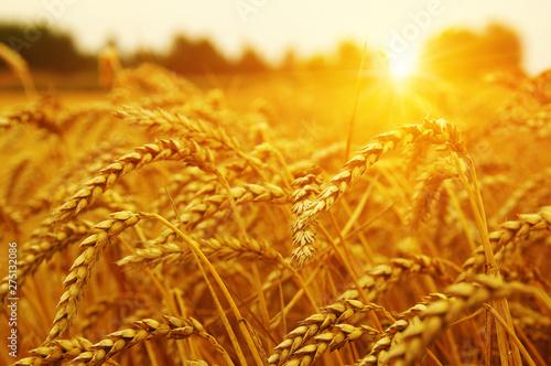 Cadres-photo bureau Miel Wheat field on sun.