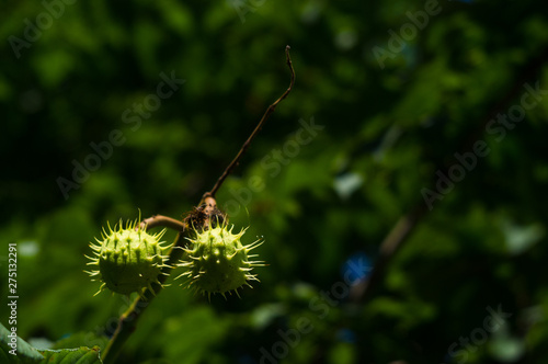 Horse-chestnuts on conker tree branch - Aesculus hippocastanum fruits Wallpaper Mural