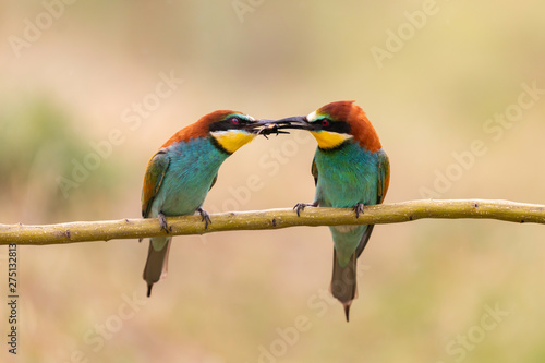 Spoed Foto op Canvas Vogel Male bee eater giving a insect to its partner