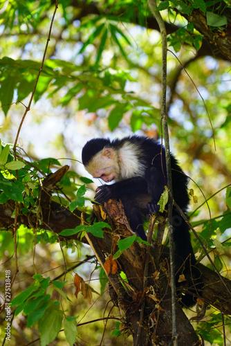 A white-headed capuchin monkey (cebus capucinus) on a tree  in Peninsula Papagay Canvas Print