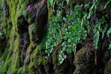Water dripping from the walls of Hamilton Pool covered with moss and plants
