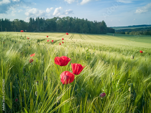 On the edge of a barley field are poppy plants. It is early summer, the sun is shining and the sky is blue. In the background are the tracks of the tractor. Landscape from Germany. - 275145260