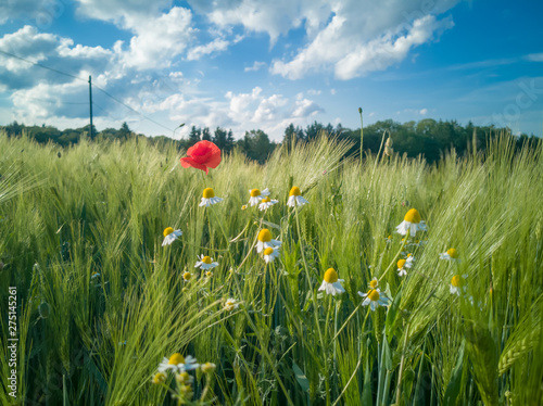 On the edge of a barley field are poppy plants and chamomile herbs. It is early summer, the sun is shining and the sky is blue. Landscape from Germany. - 275145261