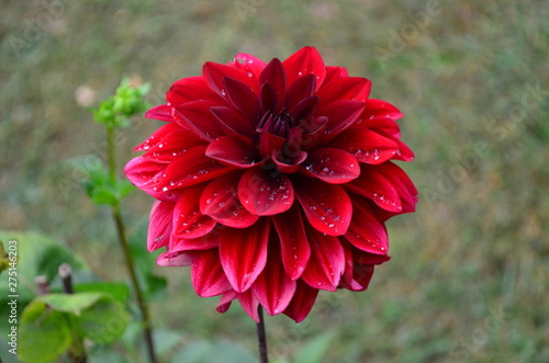 Photo Vivid red dahlia flower with water drops in a garden, top view