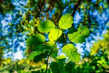 Backlit Poison Oak Leaves On F...