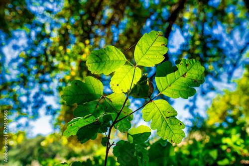 Photo  Backlit Poison Oak Leaves on Forest Floor