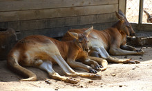 Two Red Kangaroos Resting In T...