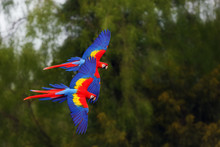 The Scarlet Macaw (Ara Macao) ...