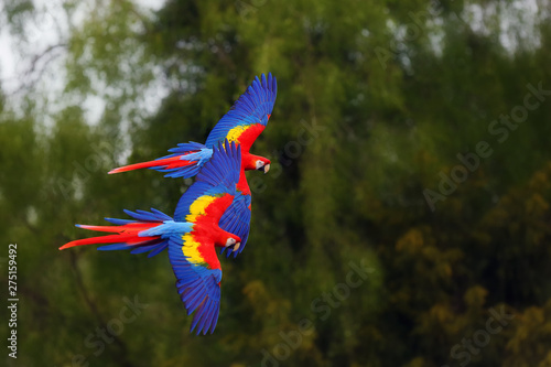 The scarlet macaw (Ara macao) flying through forest with green background Wallpaper Mural