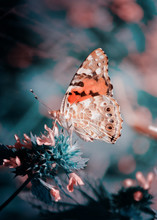 Magic Background With Painted Lady Butterfly. Close Up Photo Of Butterfly On A Garden Flower.